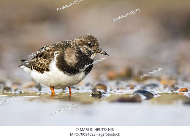 Ruddy Turnstone (Arenaria interpres) in shallow water, United Kingdom