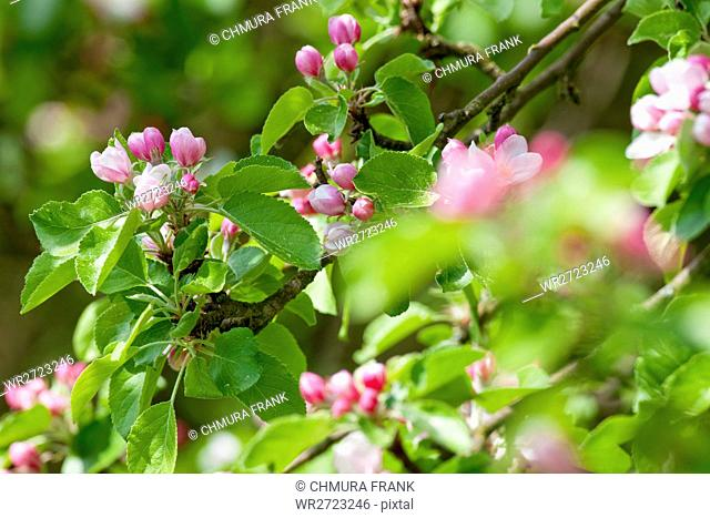 apple, background, beautiful, beauty, bloom, blooming, blossom, branch, bright, close-up, color, colorful, day, detail, flora, floral, flower, fruit, garden