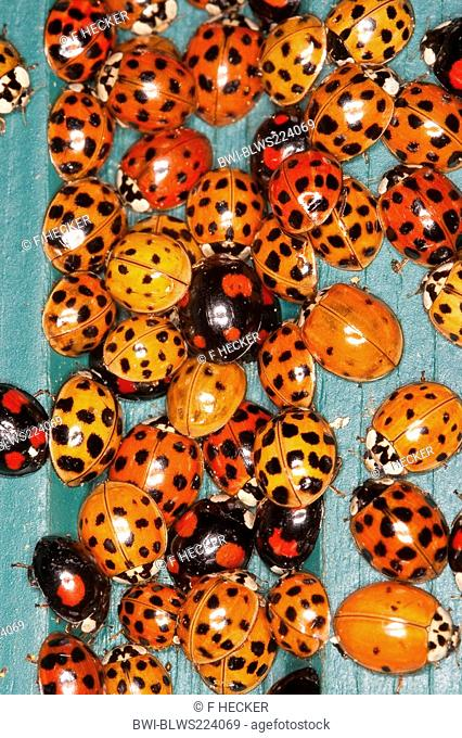 multicoloured Asian beetle Harmonia axyridis, heaps of invividuals in autumn congregating at a frost free place, Germany