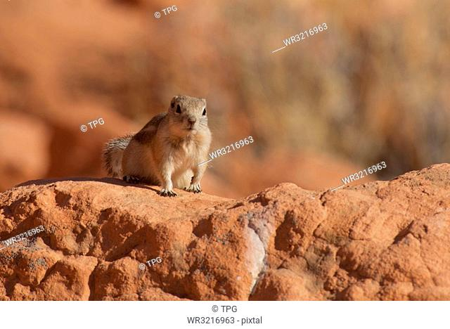 golden-mantled ground squirrel;USA