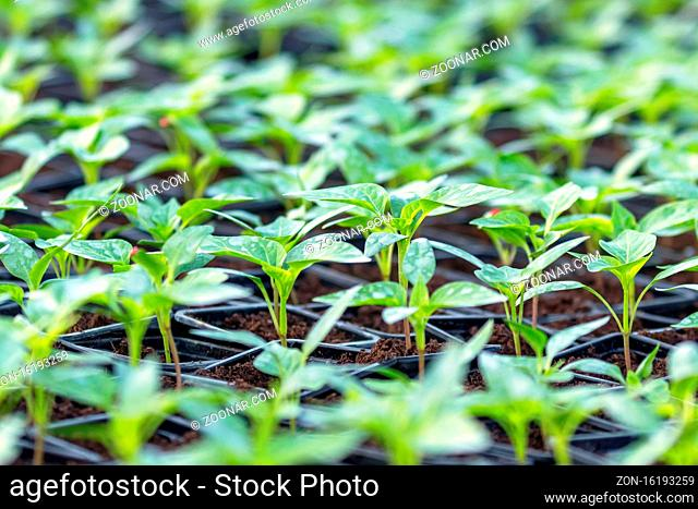 Pepper Seedlings, young foliage of pepper, Spring seedlings. Sprouts pepper