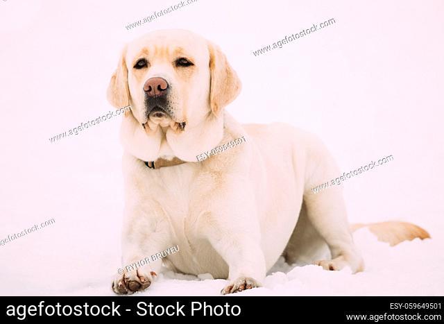 White Labrador Dog Sit In Snow At Winter Season