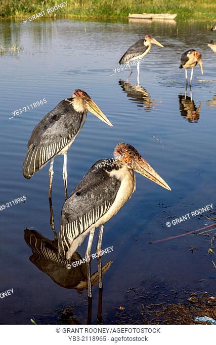 Marabou Storks (leptoptilos crumeniferus), Lake Hawassa, Hawassa, Ethiopia