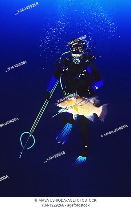 spearfisherman with good catches - hogfish, Lachnolaimus maximus, off Tampa, Florida, USA, Gulf of Mexico, Caribbean Sea