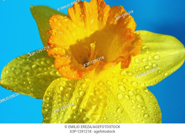 Dew on daffodil flowertf Narcissus pseudonarcissus hubr