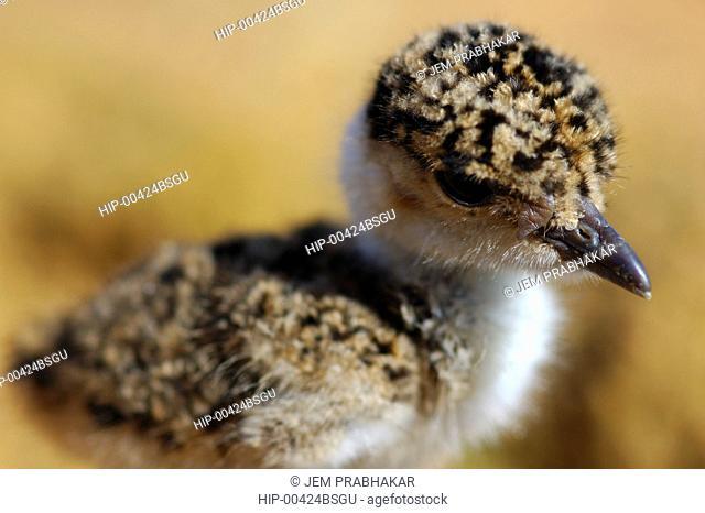 INDIAN COURSER CHICK IN KOONTHAKULAM BIRD SANCTUARY, TAMILNADU, INDIA
