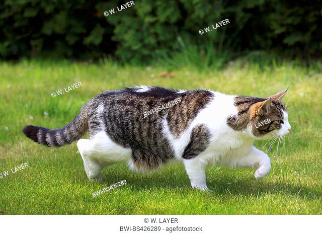 domestic cat, house cat (Felis silvestris f. catus), hunting, Germany