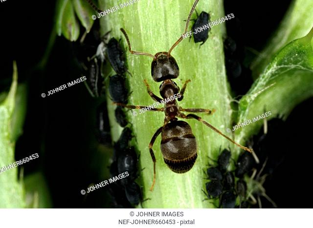 Black ant and green flies, close-up, Sweden