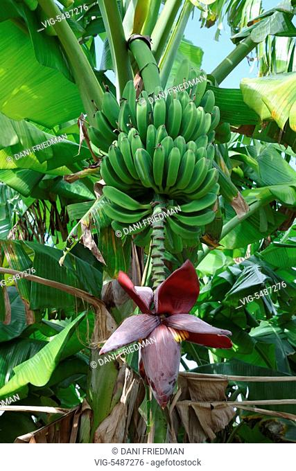CUBA, BOCA DE SAMA, 25.12.2014, Banana plant (Musa paradisiaca) with young fruit and a flower bell growing in on a banana plantation in Boca de Sama