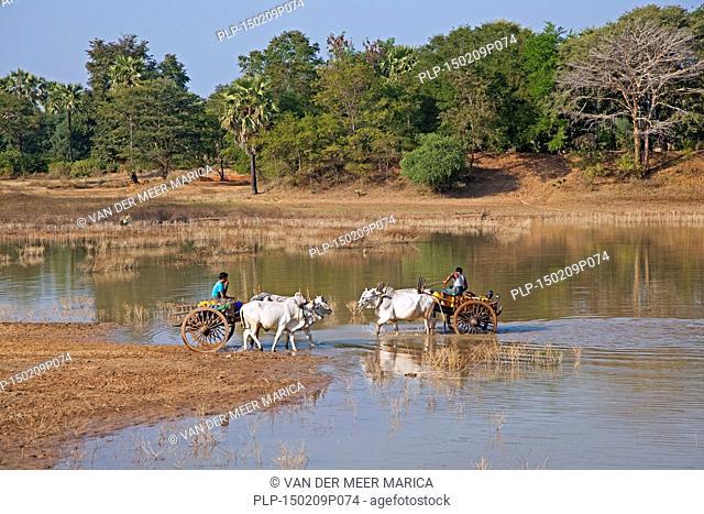 Wooden carts pulled by zebus / Brahman oxen (Bos taurus indicus) crossing river in Myanmar / Burma