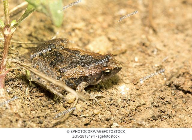 Narrowmouthed frog, Microhyla sp., Barnawapara WLS, Chhattisgarh. Family Microhylidae and consists of a number of diminutive frogs