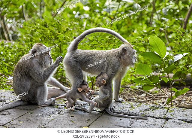 Long-tailed macaques (Macaca fascicularis) in the Sacred Monkey Forest Sanctuary. Ubud, Bali, Indonesia