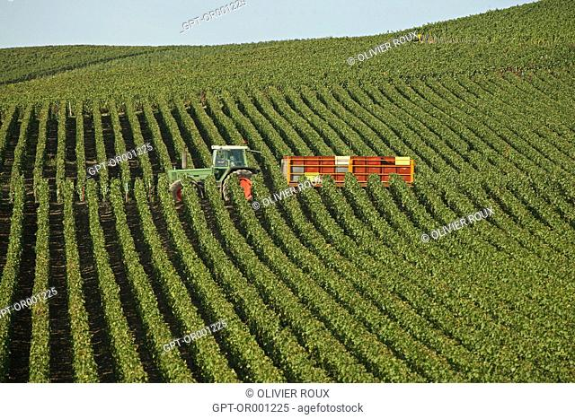 GRAPE HARVEST NEAR THE TOWN OF AY, MARNE (51), CHAMPAGNE-ARDENNE, FRANCE