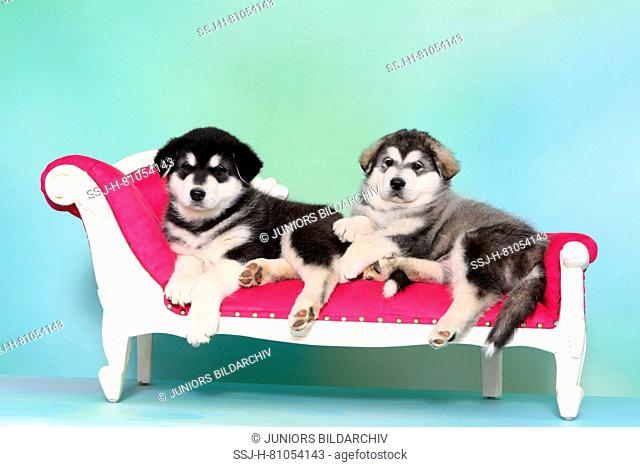 Alaskan Malamute. Two puppies (6 weeks old) lying on a chaise longue. Studio picture, seen against a light blue background. Germany