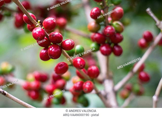 Close-up Of Ripe Coffee Beans Growing In The Coffee Fields Of The San Pedro Volcano