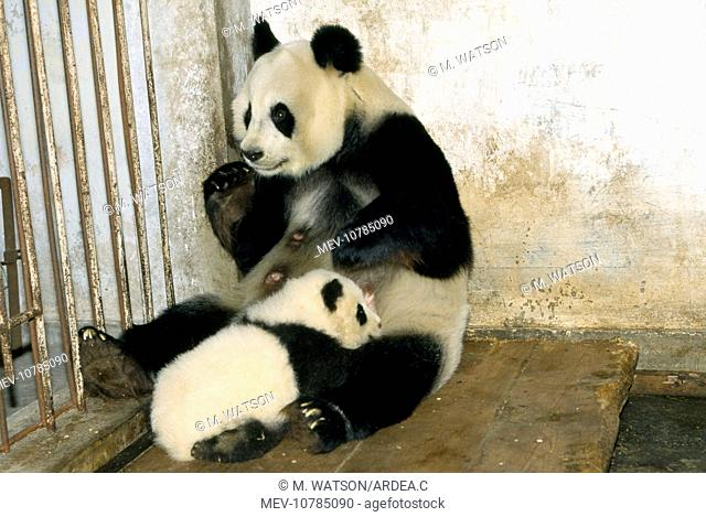 Giant Panda - adult with young suckling (Ailuropoda melanoleuca  )
