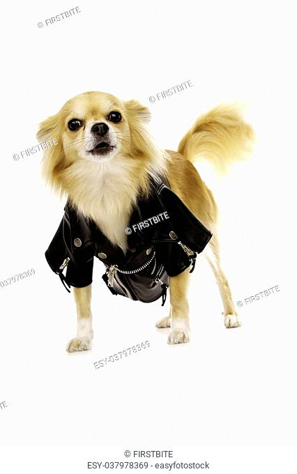 Long Haired, Sand Coloured Chihuahua Wearing a Black Leather Jacket Isolated on a White Background