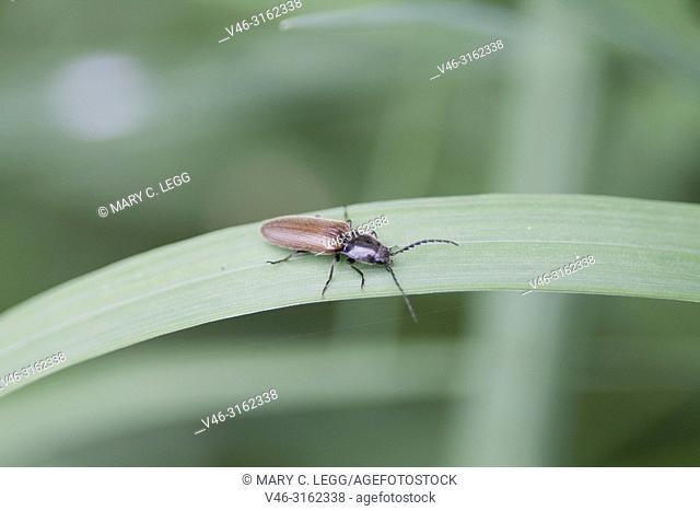 Click Beetle, Elateridae