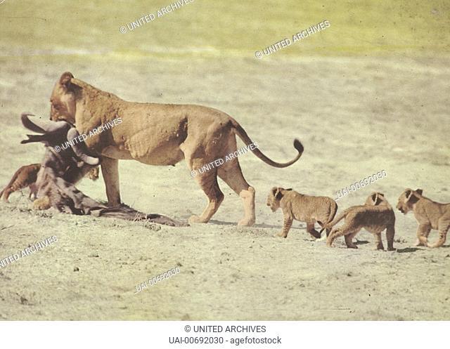 Geheimnisse Der Steppe, African Lion, Geheimnisse Der Steppe, African Lion, Szenenbild
