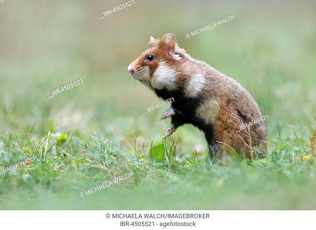 European hamster (Cricetus cricetus) standing in meadow, Austria