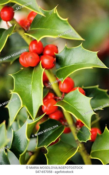 Berries and Leaves of Holly Tree. Ilex aquifolium. November 2006. Maryland, USA