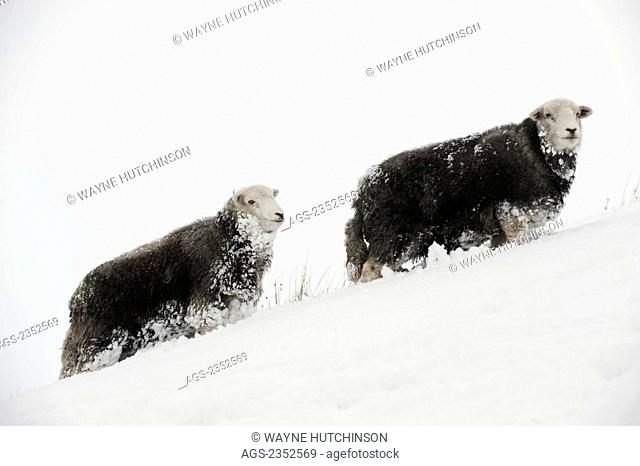 Livestock - Herdwick sheep in snow in the high mountains. The Herdwick sheep is an ancient breed of sheep originating in the lake district in Cumbria