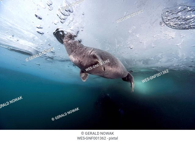 Russia, Lake Baikal, ice diver with Baikal seal under water