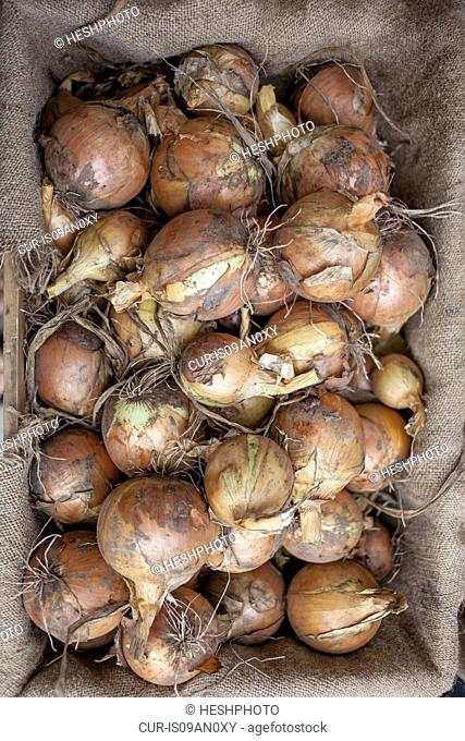 Crate of organic onions