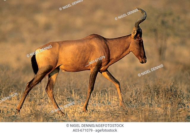 Red Hartebeest, Alcephalus buselaphus, Kgalagadi Transfrontier Park, Kalahari, South Africa