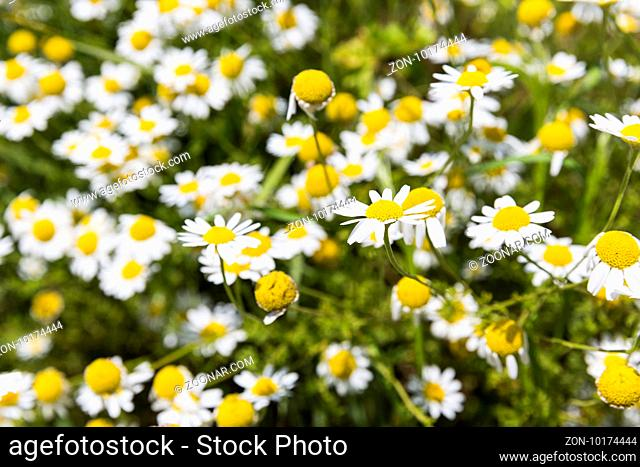 Camomile herb in its nature uncut form. Chamomile or camomile is the common name for several daisy-like plants commonly used to make herb infusions to serve...