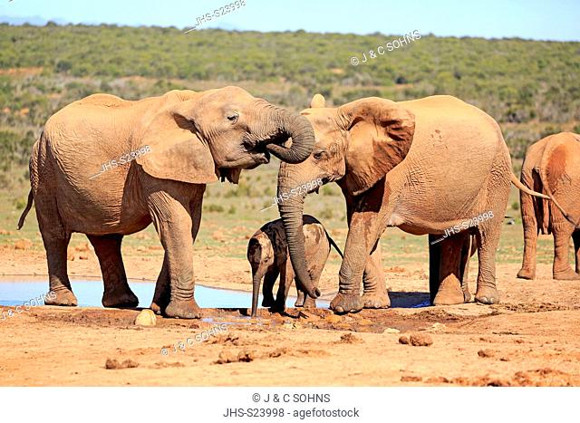 African Elephant, (Loxodonta africana), adults and young at waterhole drinking, Addo Elephant Nationalpark, Eastern Cape, South Africa, Africa