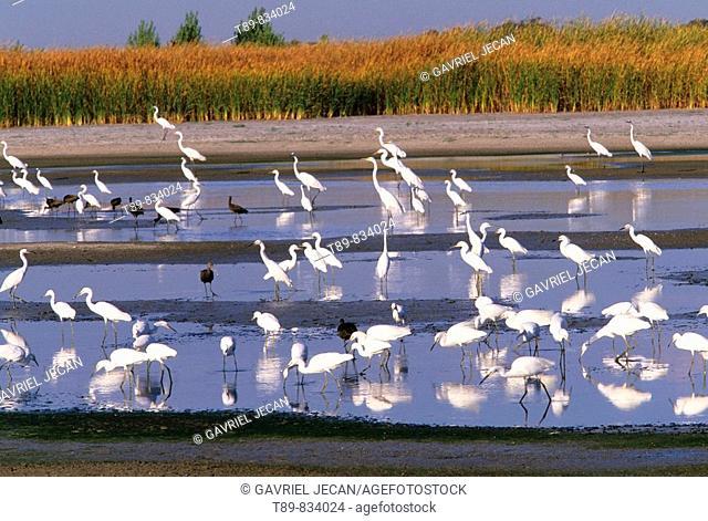 Egrets and Herons Migration, Sacramento Valley