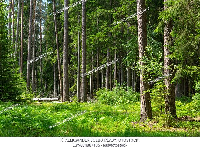 Old pines and spruce trees in summer with ferns among, Bialowieza Forest, Poland, Europe
