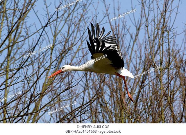 Cigogne blanche - White Storck - Ciconia ciconia