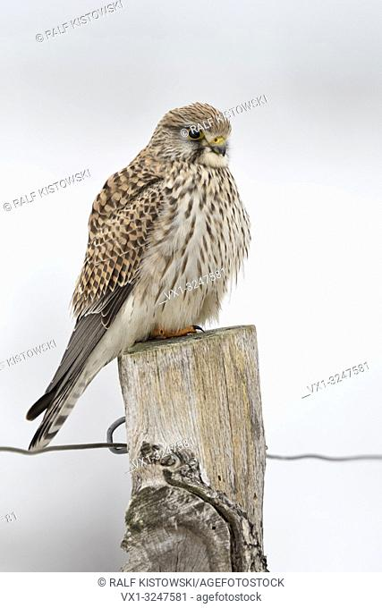 Kestrel / Turmfalke ( Falco tinnunculus ), female adult in winter, perched on top of a fence post, resting, watching, wildlife, Europe