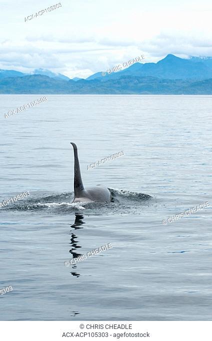 Orca, Killer Whale, orcinus orca, near Telegraph Cove, Vancouver Island, British Columbia, Canada