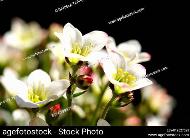 Blütenmakro des Moossteinbrechs
