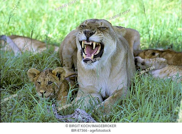 Snarling lioness with cubs sitting in the shadow - Masai Mara National Reserve - Kenya