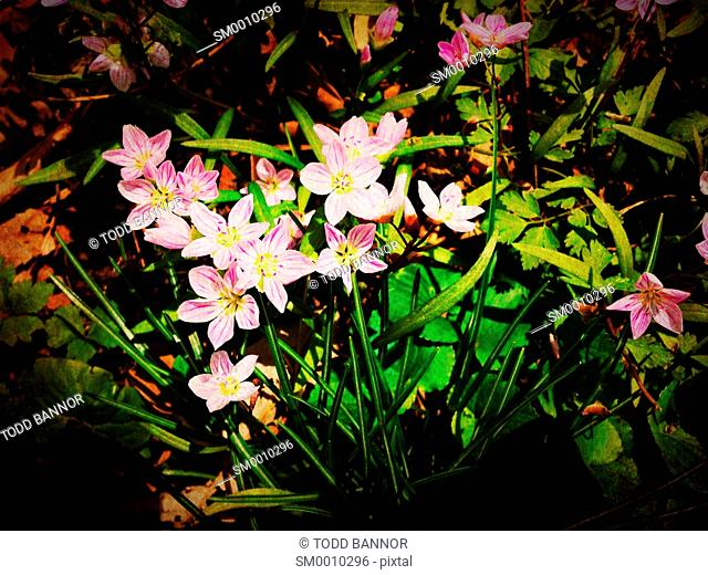 Spring beauty Claytonia virginica wildflowers in spring. Illinois, USA