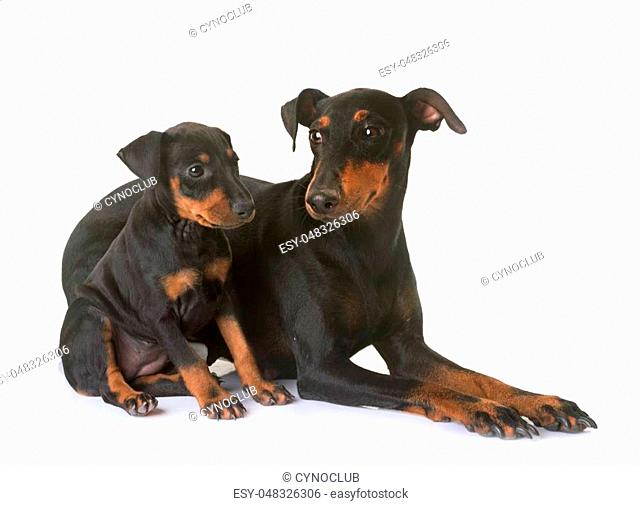puppy manchester terrier and adult in front of white background