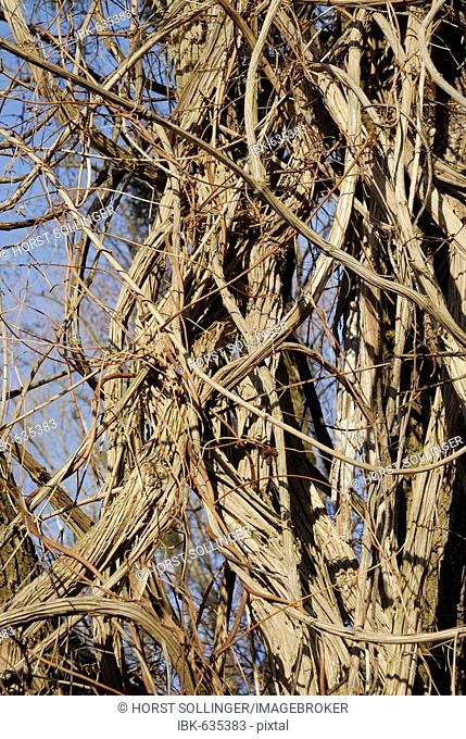 Thicket of Old Man's Beard or Traveller's Joy (Clematis vitalba) vines