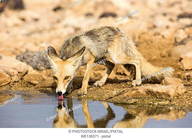 Red Fox (Vulpes vulpes). The Red Fox is the largest of the true foxes, as well as being the most geographically spread member of the Carnivora