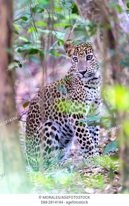 Sri Lanka, Northwest Coast of Sri Lanka, Wilpattu national patk, Sri Lankan Leopard Panthera pardus kotiya), in the forest