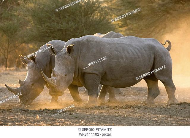Two white rhinoceroses (Ceratotherium simum) walking in the dust at sunset, Botswana, Africa