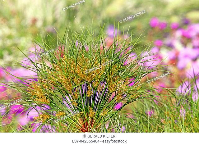 flower stand real papyrus cyperus papyrus nofretete