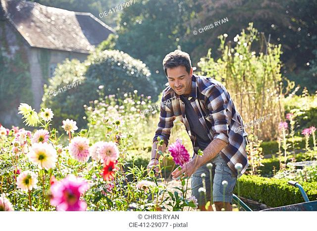 Man pruning flowers in sunny garden
