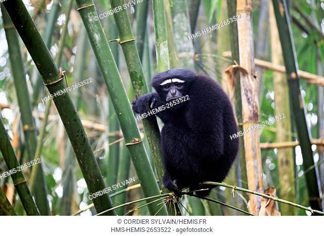 India, Tripura state, Gumti wildlife sanctuary, Western hoolock gibbon (Hoolock hoolock), adult male