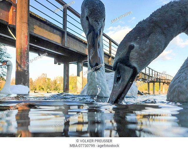Wien, Vienna, young and adult mute swan (Cygnus olor), lake Untere Alte Donau (Lower Old Danube), pedestrian bridge Polizeisteg in 22