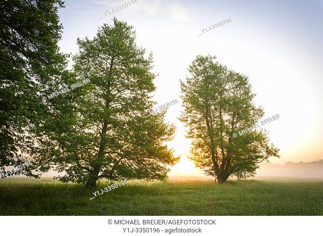 Trees (Black alder) and meadow in morning mist at sunrise, Hesse, Germany, Europe