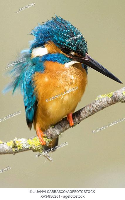 Common kingfisher, Alcedo atthis, perched on a branch